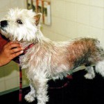 Аллергический дерматит у собак
