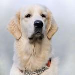 Высыпания на коже у собаки: причины и лечение
